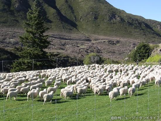 羊の大移動 ニュージーランド