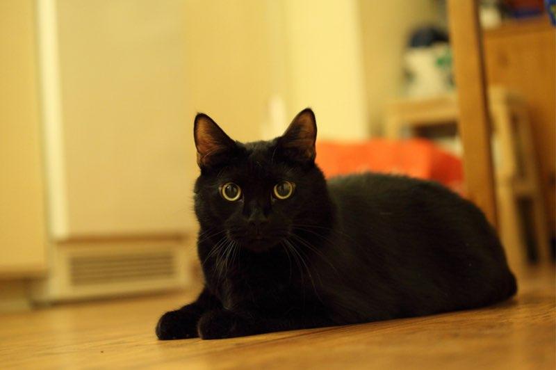 黒猫を見かけたら不幸の兆し?ニュージーランドは幸運の兆し