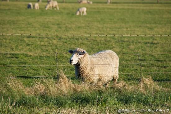 世界の果てまでイッテQでニュージーランド!羊飼い祭り
