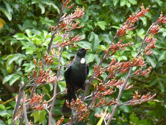 NZの野鳥を見分けるアプリ「WhatBirdNZ」