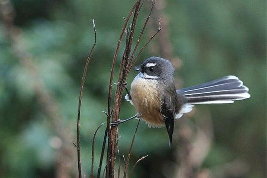 決定!2012年最もニュージーランド人に愛された鳥