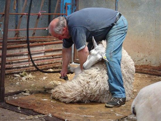 羊が一瞬で丸裸!日本の老舗企業が発明に大貢献