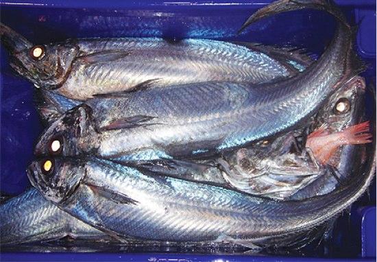 福島原発の影響は?NZ沿岸の魚で放射性物質テスト