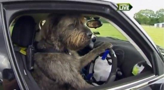 車を運転するニュージーランドの犬が話題に